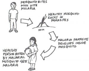 An illustration of how malaria is spread. 1. Mosquito bites man with malaria. 2. Health mosquito sucks in parasites. 3. Malaria parasite develops inside mosquito. 4. Health person bitten by malarial mosquito gets malaria.